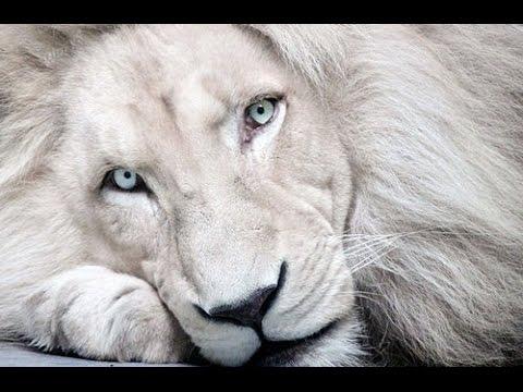 Rare White albinism Lion Pics