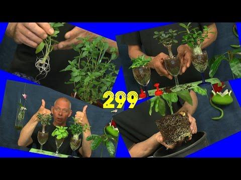 Mango Maracuja Anzucht und mehr Pflanzen im Zimmer