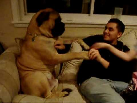 Bullmastiff Dog Trick - High Five (Thor)