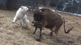Livestock Guardian Dog Goes Crazy