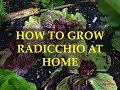 HOW TO GROW RADICCHIO AT HOME