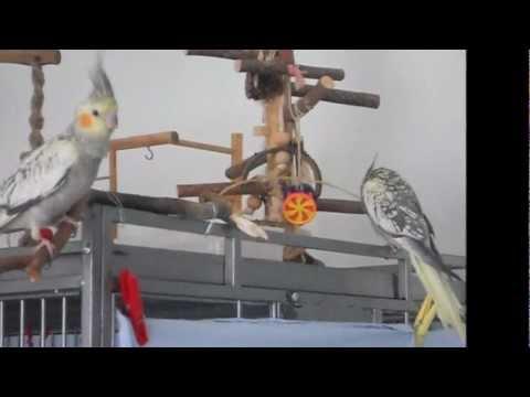 Papagei Handzahme Nymphensittiche. Bitte kein Einzelhaltung