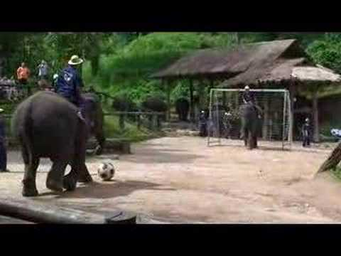 Elephants playing soccer in Chiang Mai, Thailand