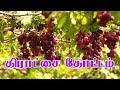 Grape Cultivation Tamil திராட்சை சாகுபடி செய்வது எப்படி
