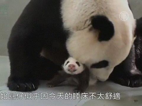 Трогательное воссоединение панды со своим детёнышем (новости)