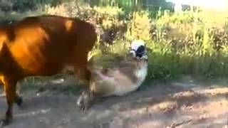 Caidas Graciosas Vaca Cachonda