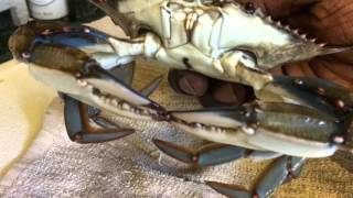Backyard Crab Farm Update - Freezing Blue Crabs Tutorial