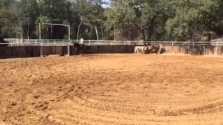 Diesel- Jared Lesh cowhorses