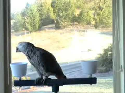 African Grey Parrot Talking to My Dog, Jasper and Others Video