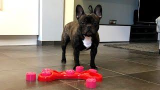 Funny Dog VS Mind Game: Flor The Frenchie
