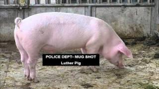 Pig Kills Man CSI