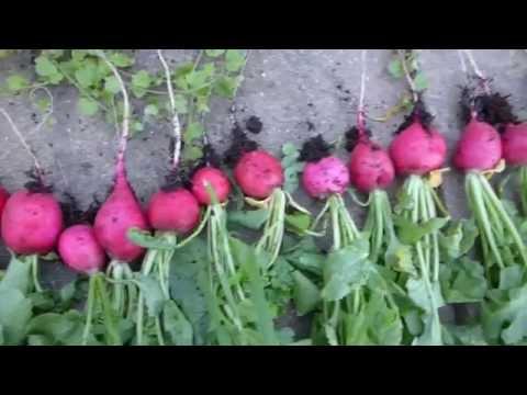 Radieschen Ernte | Hochbeet Im Garten #4