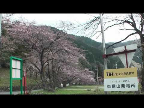 揖斐川町 「イビデンの桜並木」
