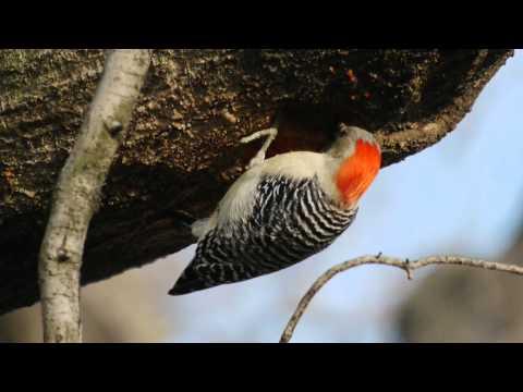 Red-bellied Woodpecker, Kissena Park