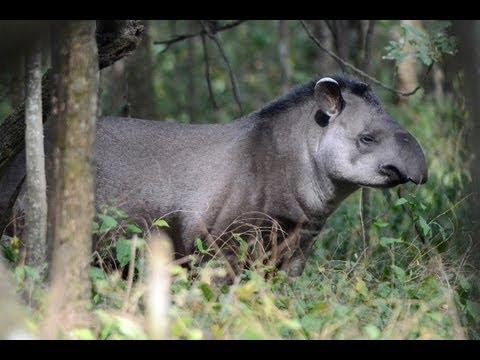 Travesías Fotográficas Tapir en Reserva Horco Molle de la UNT