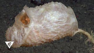 New deep-sea species Culeolus barryi