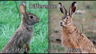 Difference Between a Bunny, a Rabbit and a Hare