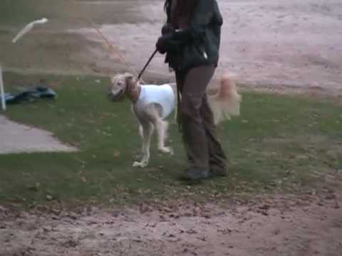 Ameena @ Ronostrand International Lure-Coursing 31.10.2009 Video