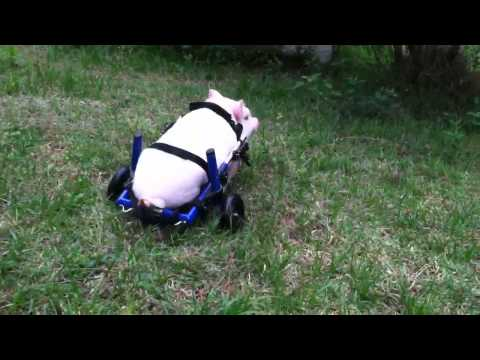 Pig in Wheelchair Part II - Chris P Bacon