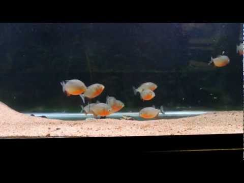 Red Belly Piranha eating leeches.