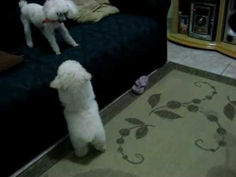 Micro Toy Dogs Funny Dogs Poodle Micro Toy