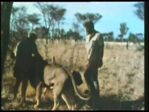 George Adamson and Bill Travers meet Boy in 1967