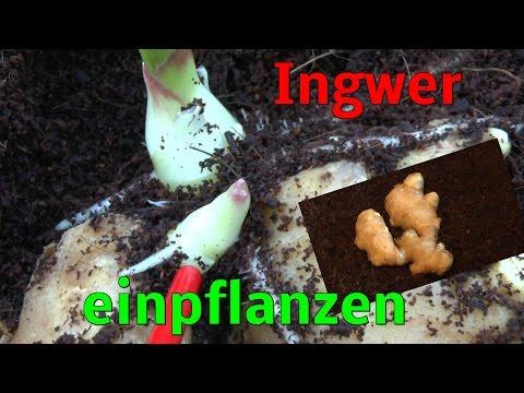 Ingwer Pflanzen, Vermehren Ist Ganz Einfach Ginger