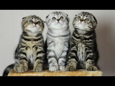 3匹の猫スコティッシュフォールドが同時に首を振るのが超絶可愛い♪