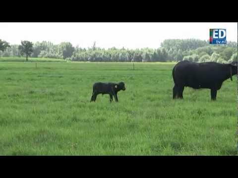Waterbuffel Froukje geboren in Breugel