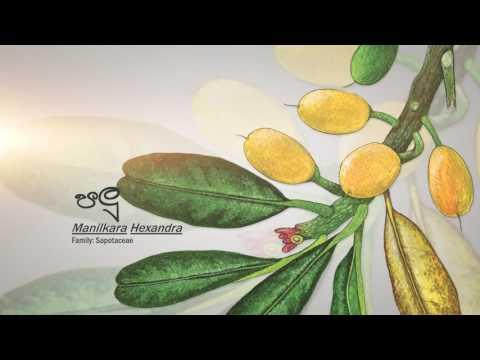 Sri Lanka Telecom - Palu (Wild Fruits)