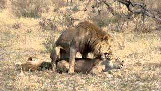 Lion Sex in Zimbabwe