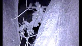 Brown Long Eared bats Plecotus auritus leave their roost in an oak tree about hallf an hour after su