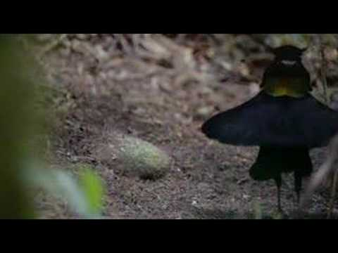 Birds Of Paradise video