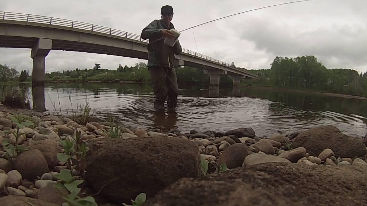 Stripers  Miramachi River  New Brunswick  Canada   Chad Pettrone