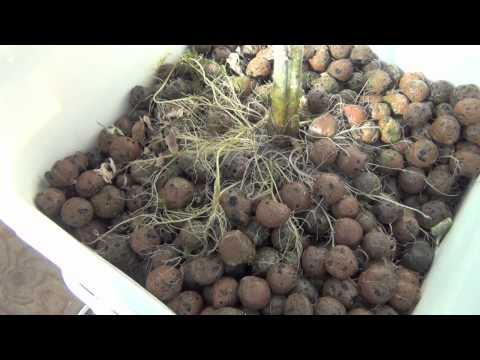 Hydroponic Greenhouse Project, Dutch Bucket Clean Out And Pepper Update