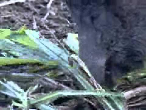 Ibama autoriza caça controlada do javali- uma espécie exótica invadora que at