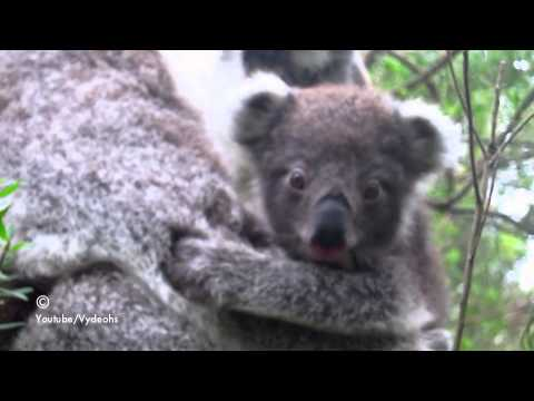 Baby Koala Tries to Eat Leaves For The First Time