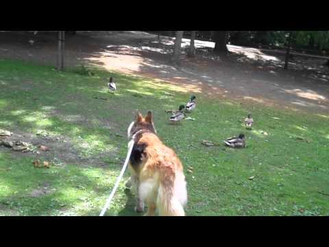 Sheba Meet Donald Duck.mp4 video