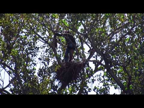 Geoff Diaz Climbs Tree Up to the Eagle's Nest to Retrieve Eagle Cams