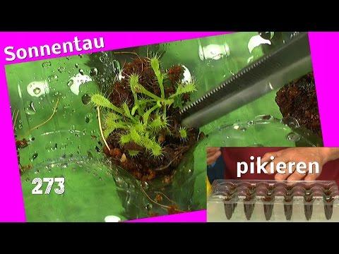 Sonnentau Sämlinge pikieren Drosera rotundifolia