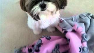 Shih Tzu dog Lacey loves her pink paw print blanket