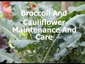 Container Grown Broccoli And Cauliflower-Maintenance And Care