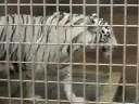 大牟田市動物園 「ホワイトタイガーのホワイティ」