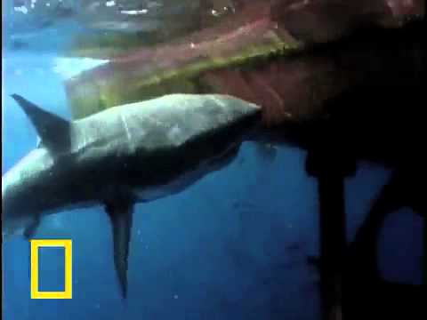 Honey Badger Narrates:The Great White Sea-Monster