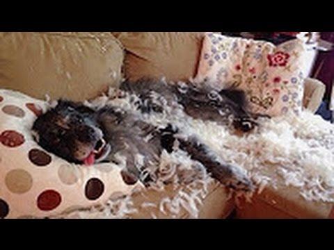 Top 10 Reacciones de Perros Culpables! - Videos de Risa!