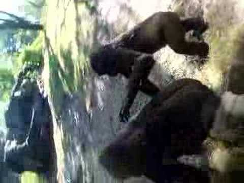 Gorilla Sex. Funny stuff filmed at Disney Animal Kingdom