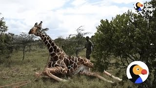 Giraffe With Metal Ring Around His Ankle Gets Help From Rescuers | The Dodo