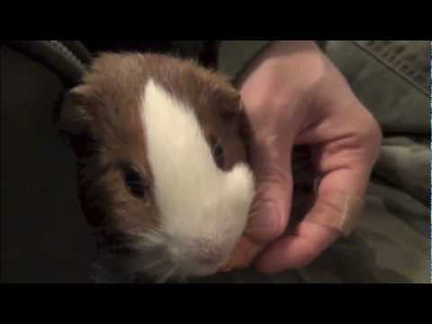 Hand feeding Guinea pig. Very cute and funny animal eating carrot