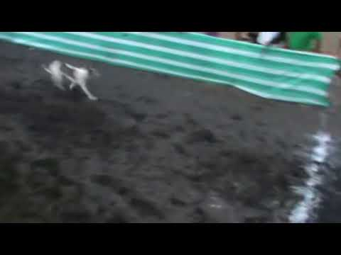 caballo versus galgos  CANODROMO LA VEGA PUPUYA NAVIDAD VI REGION CHILE