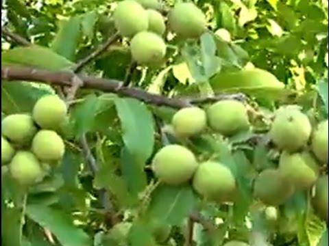 Ceviz Yetiştiricilği - Cevizde Toprak Hazırlığı, Bahçe Düzeni ve Sırta Dikim 7. Bölüm